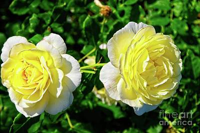 Photograph - Double Yellow Roses by Elzbieta Fazel