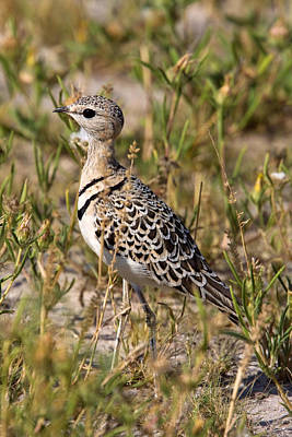 Photograph - Doublebanded Courser by David Hosking