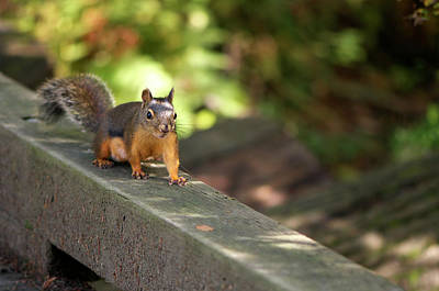 Photograph - Douglas Squirrel On The Boardwalk by Sharon Talson