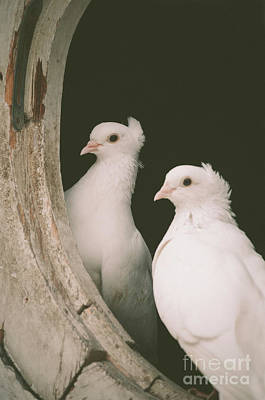 Photograph - A Pair Of Doves by Jelena Jovanovic