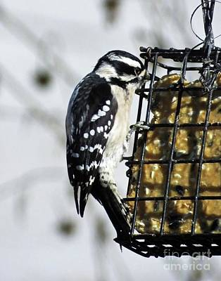Photograph - Downy Woodpecker 30 by Lizi Beard-Ward