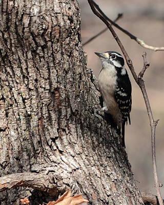 Photograph - Downy Woodpecker 4052 by John Moyer