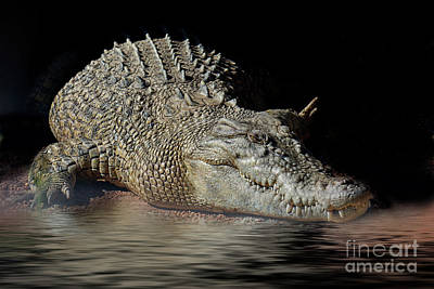 Photograph - Dozy Crocodile by Elaine Teague