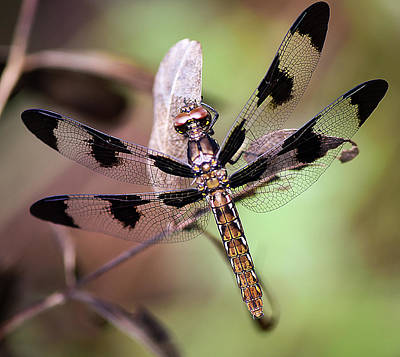 Photograph - Dragon Fly, Insect, Northeast Texas, Grass, Pasture, Summer by Karen Rispin