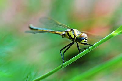 Photograph - Dragon Fly by John Clutterbuck
