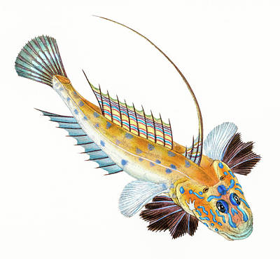 Animals Drawings - Dragonet  by David Letts