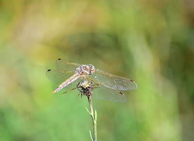 Photograph - Dragonfly - 2 by Alan C Wade