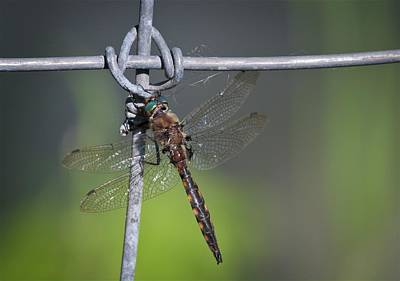 Photograph - Dragonfly At Rest by Tatiana Travelways