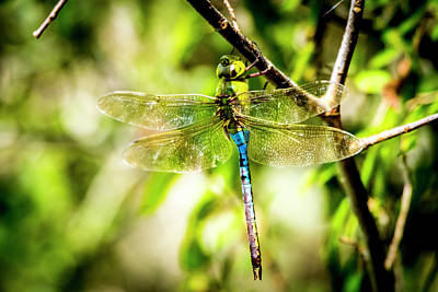 Photograph - Dragonfly by David Morefield