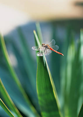 Photograph - Dragonfly by Imagenavi