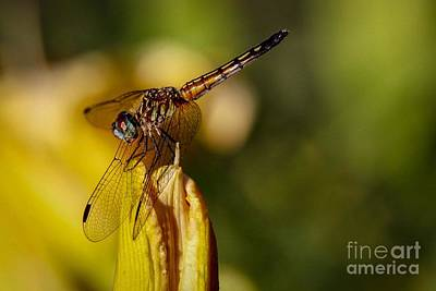 Photograph - Dragonfly In The Limelight by Susan Rydberg