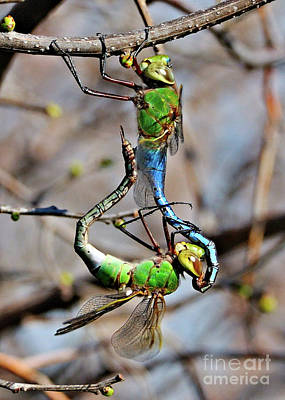 Photograph - Dragonfly Love by Debbie Stahre