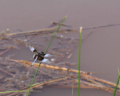 Kim Fearheiley Photography - Dragonfly on Grass by Pond by Brenda Landdeck