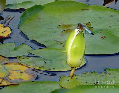 Photograph - Dragonfly On Liliy Bud by PJ Boylan