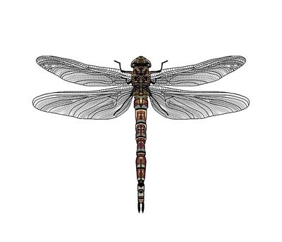 Drawing - Dragonfly Plan View by Joan Stratton