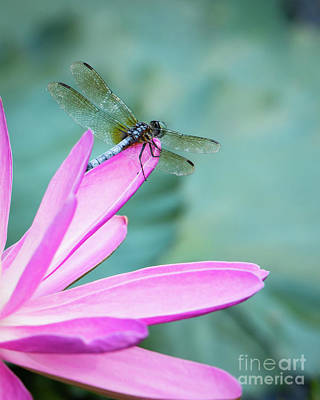 Photograph - Dragonfly Resting On A Pink Petal by Sabrina L Ryan