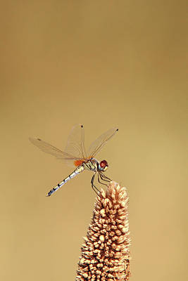 Photograph - Dragonfly by Yasir Nisar
