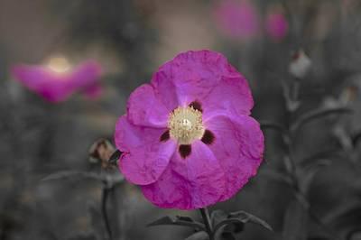 Photograph - Dream Of Cistus Rock Rose by Lynda Anne Williams