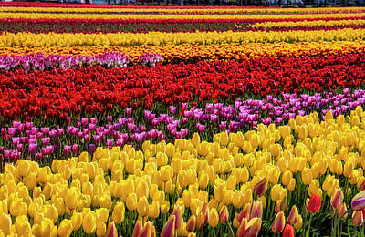 Photograph - Dreaming Of Endless Tulips by Garry Gay