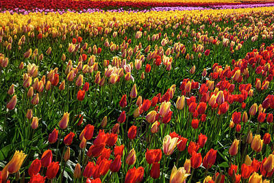 Photograph - Dreaming Of Tulips by Garry Gay