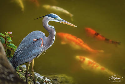 Photograph - Dreaming Tricolor Heron by Francisco Gomez