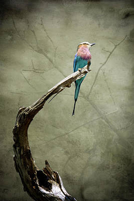 Photograph - Dreams Of A Lilac Breasted Roller by Mary Lee Dereske
