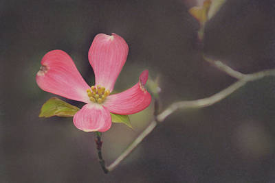 Photograph - Dreamy Dogwood by Leda Robertson