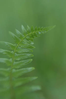 Wall Art - Photograph - Fern Frond  by Stacy Honda