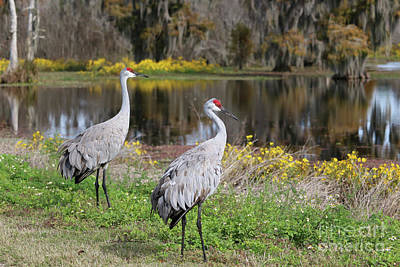 Photograph - Dreamy Sandhill Cranes In The Florida Wetlands by Carol Groenen