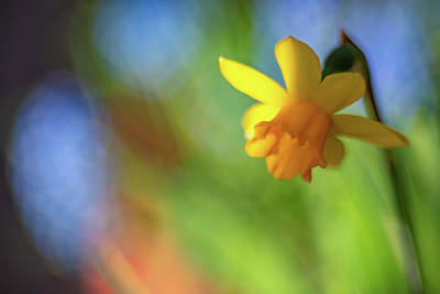 Photograph - Dreary Daffodil  by Brian Hale