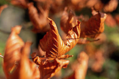 Photograph - Dried Autumn Leaves by Scott Lyons