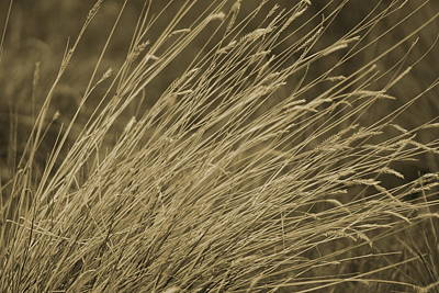 Photograph - Dried Grasses In Sepia - Utah by Colleen Cornelius