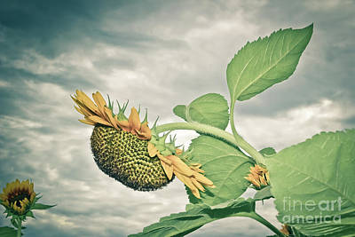 Photograph - Drooping Sunflower by Colleen Kammerer
