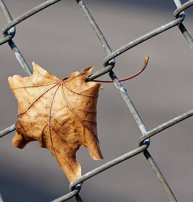 Photograph - Dry Leaf On A Fence by Tatiana Travelways