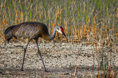 Photograph - Dry Marsh Sandhill by Tom Claud