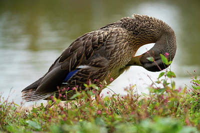 Photograph - Duck 3 by Ryan Pelletier
