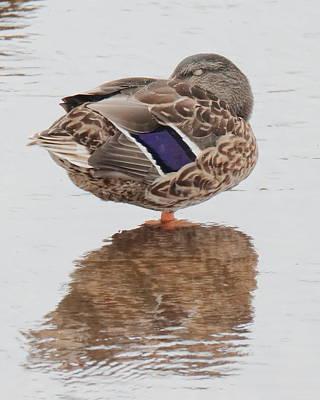 Photograph - Duck 3079 by John Moyer