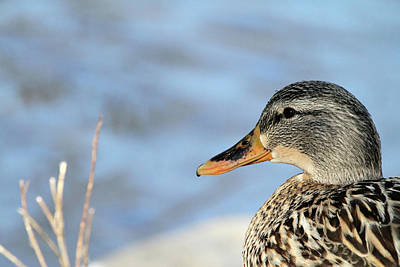 Photograph - Duck Capture by Karol Livote