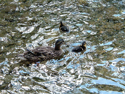 Belinda Landtroop Royalty-Free and Rights-Managed Images - Duck, Duck, Duck by Belinda Landtroop