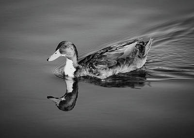 Photograph - Duck In Black And White by Alison Frank