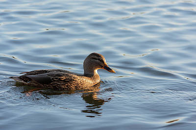 Photograph - Duck In The Afternoon by Scott Lyons