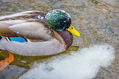 Photograph - Duck In The Red Cedar River  by John McGraw