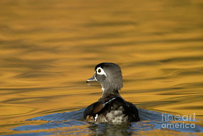 Photograph - Duck Series - On Golden Pond - Wood Duck by Beve Brown-Clark Photography