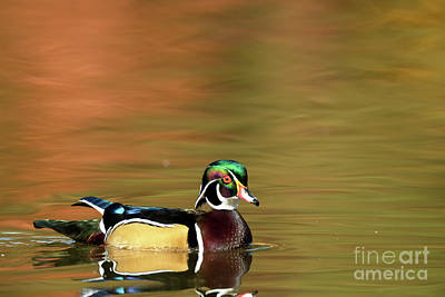 Photograph - Duck Series - Wood Duck - Morning Glow by Beve Brown-Clark Photography
