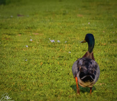 Wall Art - Photograph - Duck Waddle by James Fisher