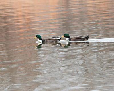 Photograph - Ducks 4282 by John Moyer