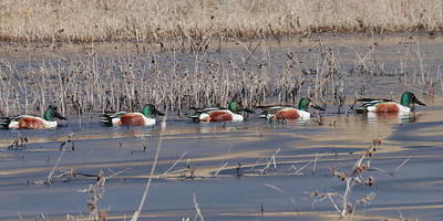 Photograph - Ducks In A Row 6403 by John Moyer