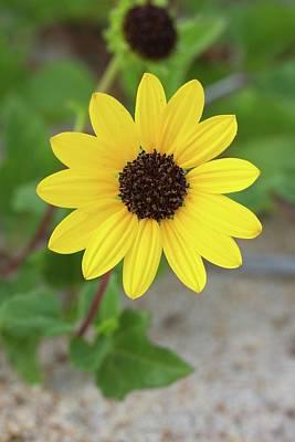 Going Green - Dune Sunflower by Paul Rebmann