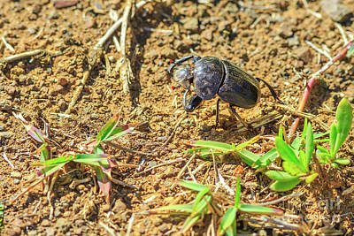 Photograph - Dung Beetle South Africa by Benny Marty