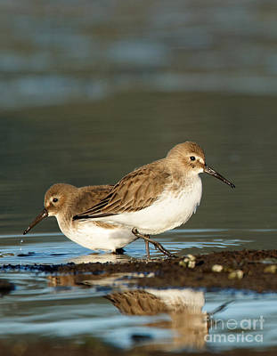 Photograph - Dunlin Double by Sue Harper